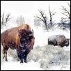 BUFFALO WINTER