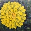 Hawkweed Sunflower