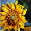 Sunflower V