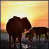 "PUDDLE HUDDLE, BISON AT DUSK -- Artist: Barbara Van Slyke Size: 24"" x 16"" Price: SOLD"