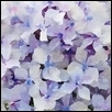 Light Purple Hydrangea Bloom