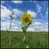 Compass Plant on the Tallgrass Prairie