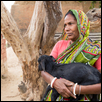 Indian Hindu Widow Goat Breeder