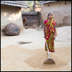 Indian Woman Hoeing Rice