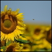 "FLIGHT OF THE HONEY BEE -- Artist: Jan Evans Size: 30"" x 25"" Medium: Photography Price: $175.00 ***SOLD***"