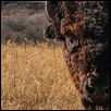 "KING OF THE PRAIRIE -- Artist: Jill Haukos Size: 14"" x 11"" Medium: Photography Price: $175.00 ***SOLD***"