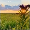 Sunset with Ironweed