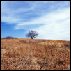 Winter Grass, Tree, Mount Mitchell Heritage Prairie