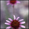 Coneflower Detail, Mount Mitchell, Wabaunsee Co., Kansas